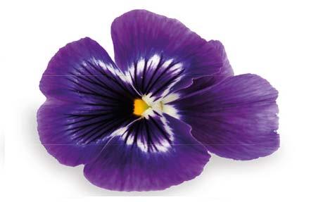 Viola Fiore Grande Floriamo